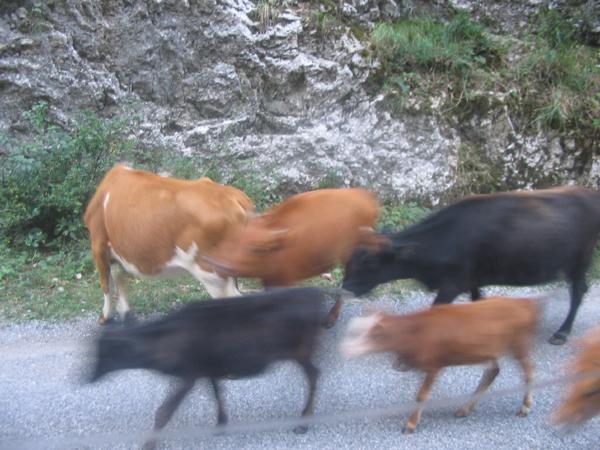 Коровы ходят стадами по дороге